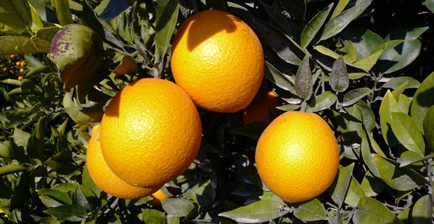 Naranjas de Alicante